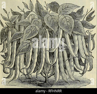 . Twentieth annual catalogue : spring 1900. Nursery stock Indiana Indianapolis Catalogs; Vegetables Seeds Catalogs; Flowers Seeds Catalogs; Agricultural implements Catalogs. A FIELD OF ARTICHOKES ON OUK OWN FAKM. JERUSALEM AND WHITE FRENCH ARTICHOKES. These varieties are not produced from seed, but are cultivated for their tubers, which are especially valuable for stock- feeding on account of their fattening prop- erties; they are well adapted to any soil where corn and potatoes can be grown. They are the best hog food known (an acre in Artichokes is said to equal 500 bushels of corn in fatten