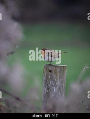 a single European robin sat on a fence post - Stock Photo