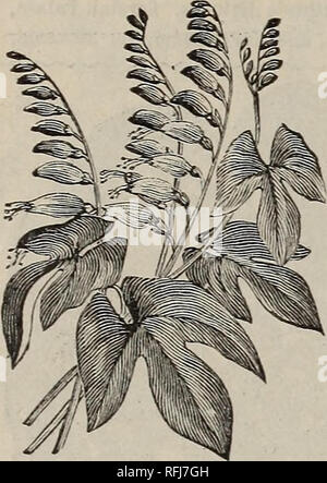 """. Flowers 1900 : Crocker's flower seeds. Nursery stock Kansas Catalogs; Flowers Seeds Catalogs. 22 CROCKER FLOWER SEED CO., Minneapolis, Mmn.. MINA LOBATA. MINA LOBATA. This Mexican climber produces buds, at first vivid red, which turn to orange yellow just before they open, changing again to a creamy-white shade when in full bloom. Germi- nates, in from 3 to 5 days. Half hardy annual. Pkt., 18""""seeds, 5 cents. NICOTIAN A AFFINIS. Produces large pure white flowers which remain closed during the day, opening in the evening, and closing late in the morning. Their fragrance is so intense as t - Stock Photo"""