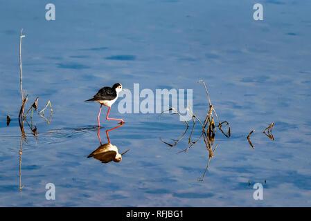 Black-winged stilt or Himantopus himantopus walks in water - Stock Photo
