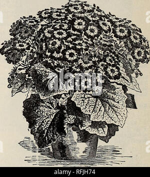 . High grade vegetable and flower and seeds, 1899. Nursery stock New York (State) New York Catalogs; Flowers Catalogs; Bulbs (Plants) Catalogs; Plants, Ornamental Catalogs; Gardening Equipment and supplies Catalogs. Celosia. CELOS1A PLUMOSA. (Feathered Cockscomb.) Very attractive plants of tropical origin, and one of the most satisfactory and showy for garden decoration, bearing in the greatest profusion spikes of beautiful feather-like blooms. They may also be preserved for winter bouquets by cutting off the heads before fully ripe, and drying them in the house. Half hardy annuals. Mixed Colo - Stock Photo