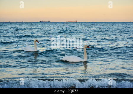 Two swans in a warm evening light swimming in the Baltic sea - Stock Photo