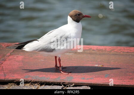 Adult Black-headed-Gull (Larus ridibundus) in the harbour area of Ribnitz-Damgarten at the Baltic Sea coast of Germany. - Stock Photo