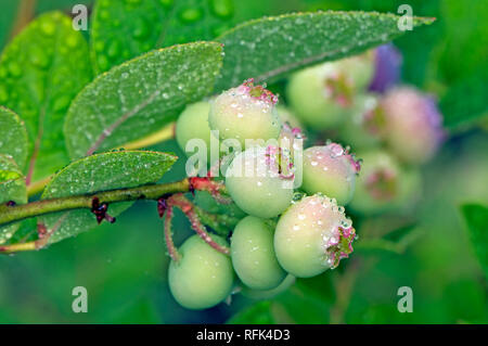 Closeup of a bunch of unripe northern highbush blueberries (Vaccinium corymbosum) on the bush with raindrops. - Stock Photo