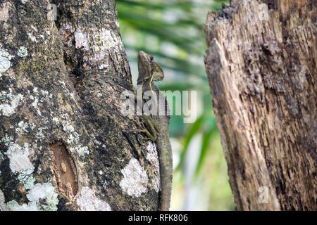 Female Plumed Basilisk or Jesus Christ lizard - Wildlife in Manzanillo, Limon, Costa Rica - Stock Photo