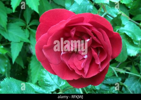A red Flower of a Garden Rose - Stock Photo