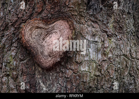Close up of a cross section of an oak tree's branch, showing heart shaped annual rings. Tree bark's background. Time prove - life long love concept. - Stock Photo