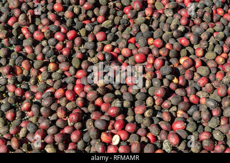 Traditional method of drying mature organic coffee beans on  open grid outside in sun lights, bio coffee farm - Stock Photo