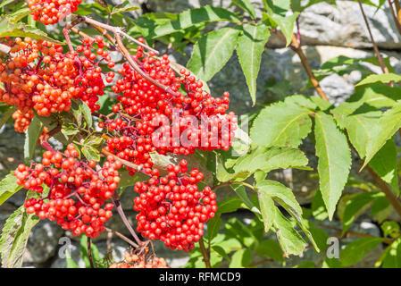Sorbus aucuparia, mountain tree commonly called rowan and mountain ash - Stock Photo