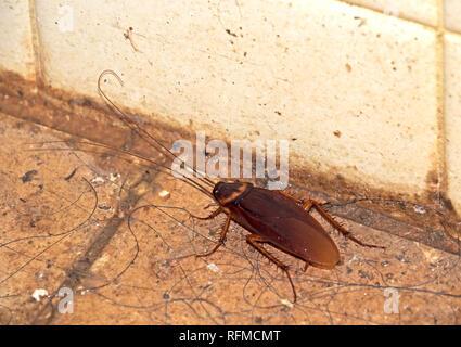 Closeup Cockroach on Dirty Floor in Bathroom - Stock Photo