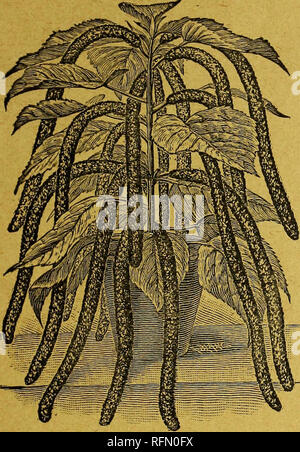 . Goodell's seeds, bulbs, roses, rare water lilies, chrysanthemums and other plants. Nurseries Massachusetts Amherst Catalogs; Flowers Catalogs; Vegetables Seeds Catalogs; Plants, Ornamental Catalogs. THE CHENILLE PLANT.—ACALYPHA SANDERI.. THE SENSATIONAL. PLANT NOVELTY OF THIS CENTURY. This most remarkable plant novelty has created a great sensation among flower lovers in Europe and in this country wherever it has been shown. Specimens were exhibited at some of the Chrysanthemum shows last fall, and drew crowds to see them. It was discovered in New Guinea by Mons. Micholitz the famous botanis - Stock Photo