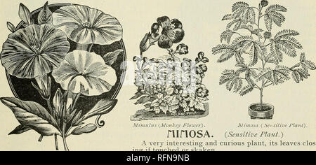 . Annual descriptive catalogue : seeds. Vegetables Seeds Catalogs; Flowers Seeds Catalogs; Plants, Ornamental Catalogs; Gardening Equipment and supplies Catalogs; Commercial catalogs Connecticut New Haven. Defiance Mignonette. ikes have been kept ii until every bud opens.. Mirabilis. MIRABILIS. {Four O'clock.) The Mirabilis grows two feet in height, well branched, bright foliage, fragrant flow- ers and desirable colors. Set plants two feet apart. It is really a good plant, and makes a nice summer hedge. Seeds should be planted in the open ground where the plants are desired. Jalapa. (Marvel of - Stock Photo
