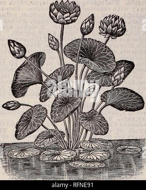 ". Goodell's seeds, bulbs, roses, rare water lilies, chrysanthemums and other plants. Nurseries Massachusetts Amherst Catalogs; Flowers Catalogs; Vegetables Seeds Catalogs; Plants, Ornamental Catalogs. 36 GOODELL'S SEEDS AND PLANTS.. LOTUS PLANT. THE LOTUS OR NELUMBIUM. Few are aware that the gorgeous ""Sacred Lotus"" of the Egyptians and Hindoos, which has played so prominent a part in the ceremonies and religious rites of these peoples as far back as history extends, is perfectly hardy in this country and can be grown with the greatest ease; yet such is the fact. It is perfectly hardy - Stock Photo"