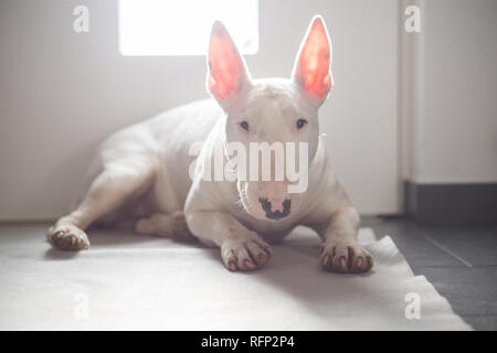 English Bull terrier lying on the floor with light behind it - Stock Photo