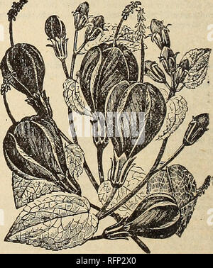 """. Spring 1896. Nursery stock Ohio Catalogs; Roses Ohio Catalogs; Flowers Catalogs; Vegetables Catalogs; Nursery stock; Roses; Flowers; Vegetables. AMPELOPSIS VEITCHII. Ampelopsis Veitchii. Sometimes called """" Boston Ivy """" and """" Japan Ivy."""" No picture can portray the beauty of this grand climbing plant. As an important aid to architectural beauty it is rapidly attaining prominence, being now a feature on the finest houses, notably the palatial residence corner of Fifty- Seventh Street and Fifth Avenue, New York City. Another fine example of it is seen on Grace Church, New Yor - Stock Photo"""