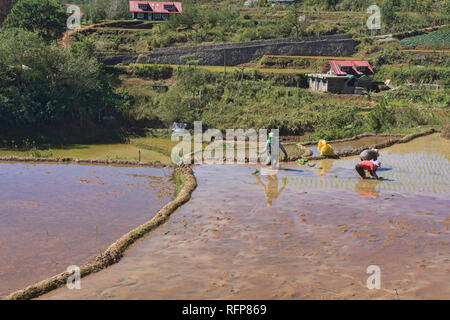 Rice farming in Fidelisan village, Sagada, Mountain Province, Philippines - Stock Photo