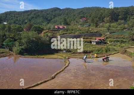 Rice farming in Fidelisan village, Sagada, Mountain Province, Philippines - Stock Photo