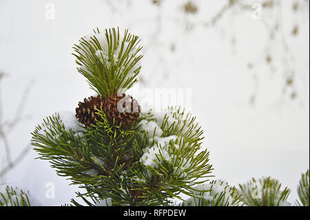 Close-up of a conifer with fir cones and snow by jziprian - Stock Photo