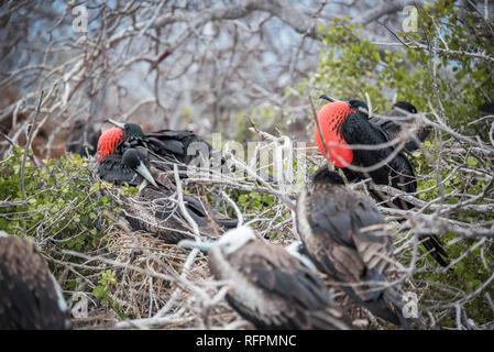 Great Frigatebird nesting in Galapagos - Stock Photo