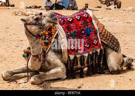 camels for Tourists and guides riding Giza plateau in the rocky desert near cairo egypt - Stock Photo