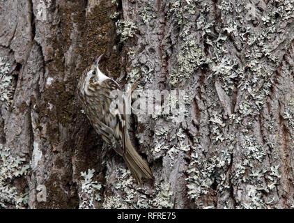 Eurasian Treecreeper (Certhia familiaris) - Stock Photo