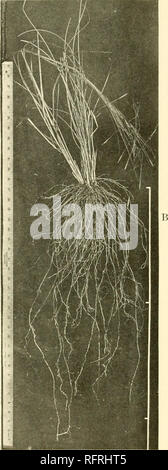 . Carnegie Institution of Washington publication. . A. Panicum virgatum, showing rhizomes, coarse roots, and complete single root. B. Stipa spartea.. Please note that these images are extracted from scanned page images that may have been digitally enhanced for readability - coloration and appearance of these illustrations may not perfectly resemble the original work.. Carnegie Institution of Washington. Washington, Carnegie Institution of Washington - Stock Photo