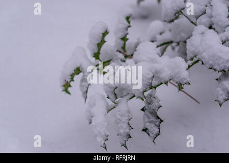 closeup of some common holly leaves covered in a thick layer of white snow, winter season background - Stock Photo