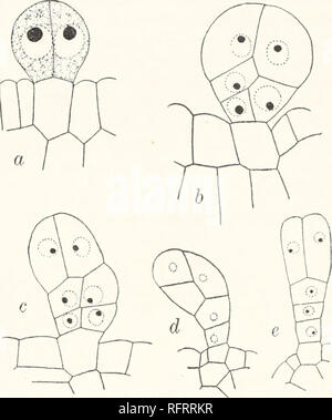 . Carnegie Institution of Washington publication. 52 HEREDITY AS ILLUSTRATED BY TRICHOMES. MEASUREMENTS ON THE TRICHOMES. The measurements which were made on the multicellular trichomes of the pure lines and first generation oijuglans hybrids indicate, as above shown, considerable variation in size, but comparative study showed also that the causal relations attending- the variations might be traced, or at least surmised. Thus the variations were seen to be associated with the age of leaf or with the position occupied by the trichomes on the leaf. These conditions were shown to hold good for a - Stock Photo