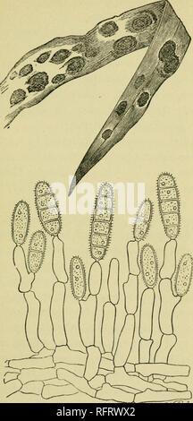 Mucegai helminthosporium. Morfolog helminthosporium oryzae, Încărcat de