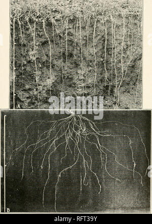 . Carnegie Institution of Washington publication. . A. Bisect showing roots of 2-year-old alfalfa. B. Root system of Bouteloua hirsuta.. Please note that these images are extracted from scanned page images that may have been digitally enhanced for readability - coloration and appearance of these illustrations may not perfectly resemble the original work.. Carnegie Institution of Washington. Washington, Carnegie Institution of Washington - Stock Photo