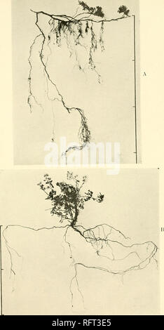 . Carnegie Institution of Washington publication. WEAVER. A. Arctostaphylos uva-ursi, showing a portion of the root system. B. Ribes lacustre, seven years old.. Please note that these images are extracted from scanned page images that may have been digitally enhanced for readability - coloration and appearance of these illustrations may not perfectly resemble the original work.. Carnegie Institution of Washington. Washington, Carnegie Institution of Washington - Stock Photo