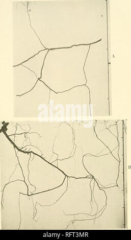 . Carnegie Institution of Washington publication. . A. Rhus glabra, a portion of the root network with ascending rootlet a B. Rhus glabra, with ascending rootlets.. Please note that these images are extracted from scanned page images that may have been digitally enhanced for readability - coloration and appearance of these illustrations may not perfectly resemble the original work.. Carnegie Institution of Washington. Washington, Carnegie Institution of Washington - Stock Photo