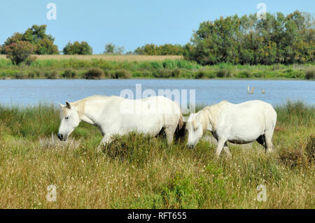 Pair or Two White Camargue Horses Grazing on Shores of Etang Vaccarès Lake in the Camargue Wetlands Provence France - Stock Photo