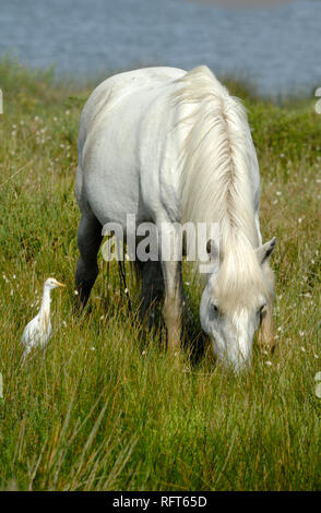White Camargue Horse Grazing & Cattle Egret, Bubulcus ibis, Grazing in the Camargue Wetlands Provence France - Stock Photo