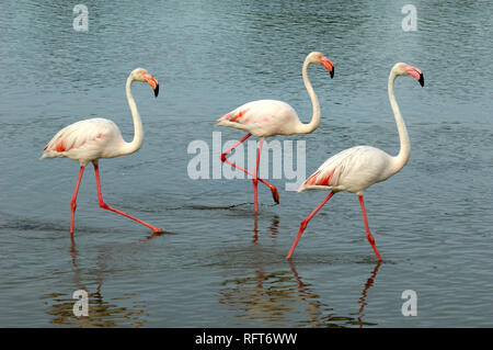 Three Greater Flamingos, Phoenicopterus roseus, Walking or Wading Across Etang Vaccarès Lake in the Camargue Wetlands Provence France - Stock Photo