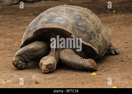 Riesenschildkröte, endemisch auf den zu Ecuador gehörenden Galapagos-Inseln im Pazifik - Stock Photo