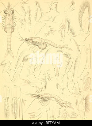 . Carcinologiske bidrag til Norges fauna. Mysidae; Crustacea -- Norway. PLYU.. Mysidopsis Didolphy.s iNoriiian]. Please note that these images are extracted from scanned page images that may have been digitally enhanced for readability - coloration and appearance of these illustrations may not perfectly resemble the original work.. Sars, G. O. (Georg Ossian), 1837-1927; Kongelige Norske videnskabers selskab. Christiania, Brøgger & Christie's bogtrykkeri - Stock Photo