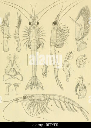 . Carcinologiske bidrag til Norges fauna. Mysidae; Crustacea. 7Z^-xi7r.. Please note that these images are extracted from scanned page images that may have been digitally enhanced for readability - coloration and appearance of these illustrations may not perfectly resemble the original work.. Sars, G. O. (Georg Ossian), 1837-1927; Kongelige Norske videnskabers selskab. Christiania, Brøgger & Christie's bogtrykkeri - Stock Photo