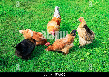 top view of poultry chickens roosters walking on the lush green grass in the yard of the farm in the summer - Stock Photo