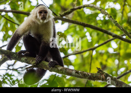 A White-faced Capuchin (Cebus imitator) on a branch in dense tropical forest. Costa Rica, Central America.