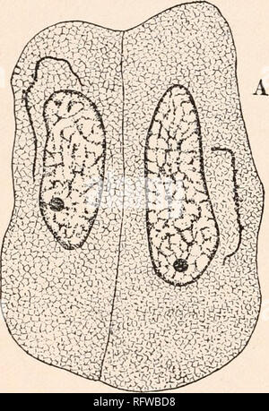""". Carnegie Institution of Washington publication. 154 ARCHEGONIATES. as food material in the growth of the blepharoplasts and other parts of the cell. During the telophase the blepharoplast is represented by a more or less irregular or spherical mass of granules, which have evi- dently been derived by the breaking up of the membrane. """"It would seem that the outer membrane of the blepharoplast breaks up into numerous segments or granules, which assume a roundish or elliptical form, and through the action of the cytoplasm become crowded to- gether in a mass occupying the position of the ori - Stock Photo"""
