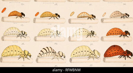 ". Carnegie Institution of Washington publication. 5 14- 20. â¢â â¢â¢n :^""'. W LT del STAGES IN DEVELOPMENT OF THE COLOR PATTERN OF LARVAE OF LEPTINOTARSA DURING OMTOGENY.. Please note that these images are extracted from scanned page images that may have been digitally enhanced for readability - coloration and appearance of these illustrations may not perfectly resemble the original work.. Carnegie Institution of Washington. Washington, Carnegie Institution of Washington - Stock Photo"
