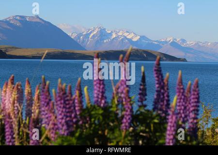 Lupinus polyphyllus, Lake Tekapo, New Zealand. Lupine is an invasive species in New Zealand - Stock Photo