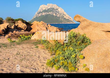 Wild flowers with Tavolara Island in the background, Loiri Porto San Paolo, Olbia Tempio province, Sardinia, Italy, Mediterranean, Europe - Stock Photo