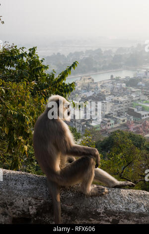 Gray langur monkey looking out over the Ganges River in Haridwar, Uttarakhand, India - Stock Photo