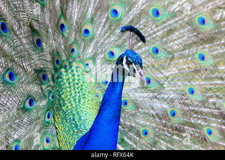 Like an exotic ballgown, a male peacock wears and displays his brilliantly coloured feathers. landscape orientation. copy space - Stock Photo