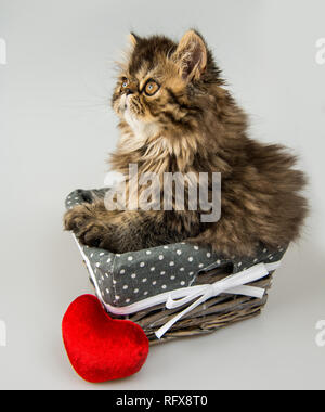 Beautiful Persian kitten cat with red heart in the basket. - Stock Photo