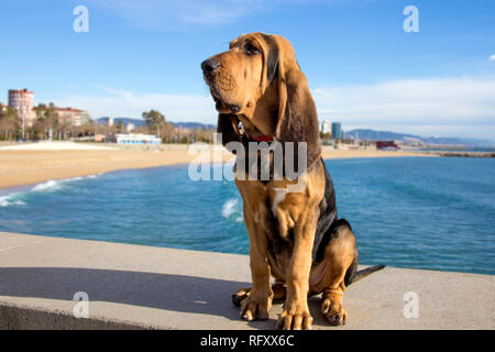 A beautiful bloodhound puppy at 5 months sits on the backdrop of the sea on a sunny day. - Stock Photo