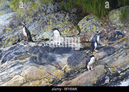 Fiordland penguin (Eudyptes pachyrhynchus), Doubtful Sound, Fiordland National Park, South Island, New Zealand - Stock Photo