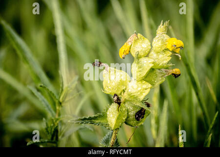 Yellow Rattle growing wild among grasses in Eton. By allowing the rattle to grow, grass growth is suppressed and other wild flowers allowed to thrive. - Stock Photo